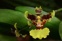 Orchid, Costa Rica