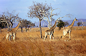 Mikumi Game Reserve, Tanzania. Group of giraffe in savannah.