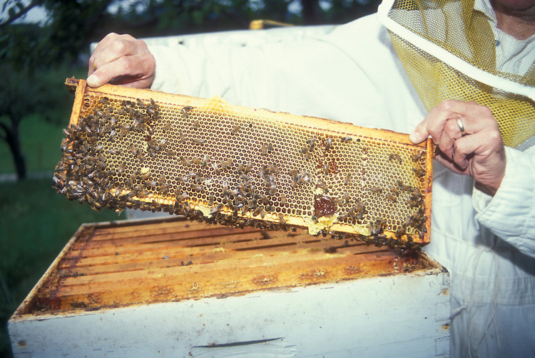 Beekeeping hive techniques: Removing hive honeycomb layer with bees, with beekeeper in protective gear garb, Langsthroth bee hive frames