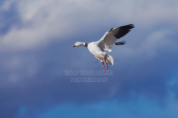 Snow Goose (Chen caerulescens), banded adult landing, Bosque del Apache National Wildlife Refuge , New Mexico, USA,