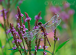Meadowhawk (Sympetrum sp.) perched on Blue Vervain (Verbena hastata)flower in early morning, with water droplets, New York, USA<br /> Slide # IN2-22