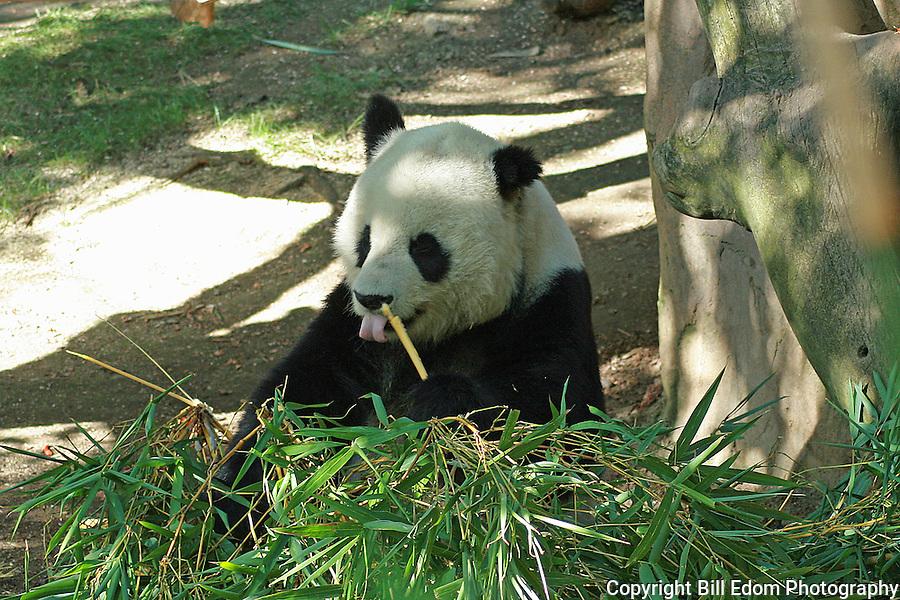 A Panda Bear eating Bamboo.