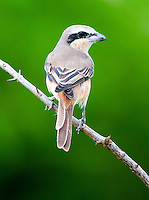 Brown shrike (Lanius cristatus) is a bird in the shrike family that is found mainly in Asia. Bundala National Park - Sri Lanka.
