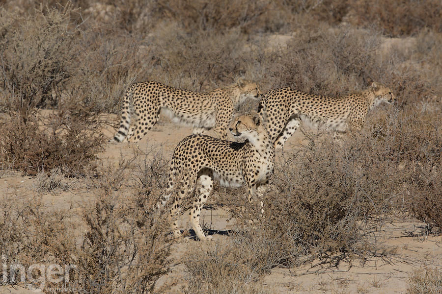 Cheetah in Kgalagadi Transfrontier Park, South Africa
