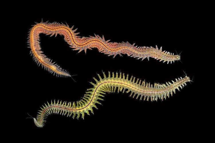 Estuary Ragworm - Hediste diversicolor