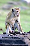 Toque Macaque With Cleft Lip
