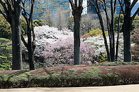 A profusiuon of cherry blossom in full bloom between the trees at Higashi-Gyoen, the East Gardens of the Imperial Palace in Tokyo