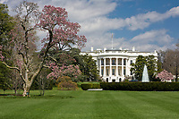 White House South Lawn and Blooming Magnolia Tree.