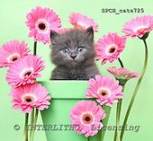 Xavier, ANIMALS, cats, photos+++++,SPCHCATS725,#a# Katzen, gatos