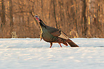 Tom turkey walking through the snow in northern Wisconsin.