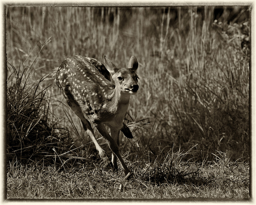 Fawn running through a muddied  low spot at 'Full Tilt'.