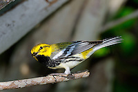 Black-throated Green Warbler, Rockport, Texas
