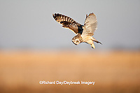 01113-01008 Short-eared Owl (Asio flammeus) in flight at Prairie Ridge State Natural Area, Marion Co., IL