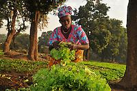 Salad harvesting