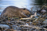 North American Beaver (Castor canadensis) working on dam. Fall.  Western U.S.