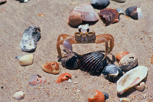 A sand crab among sea shells on the beach at Cape Hatteras, the Outer Banks, North Carolina.