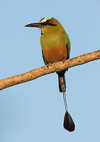 Probably the most beautiful of Costa Rica's motmot species.
