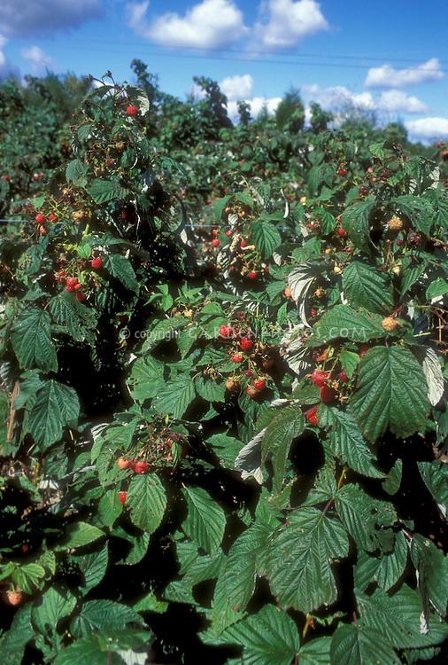 Raspberries fruit bushes growing on farm garden