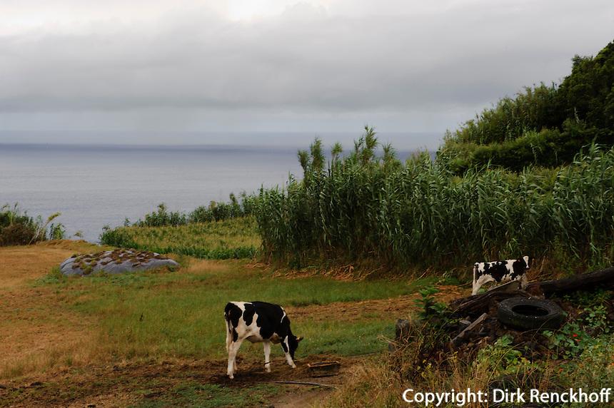 Kühe bei Mosteiros auf der Insel Sao Miguel, Azoren, Portugal