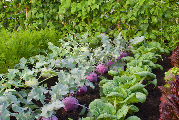 Two colors of kohl rabi cool weather root vegetable growing together
