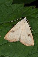 Seideneulchen, Seiden-Eulchen, Rivula sericealis, Straw Dot, Eulenfalter, Noctuidae