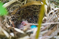 Gray Catbird nest bird babies blue eggs with newly hatched baby, Dumetella carolinensis