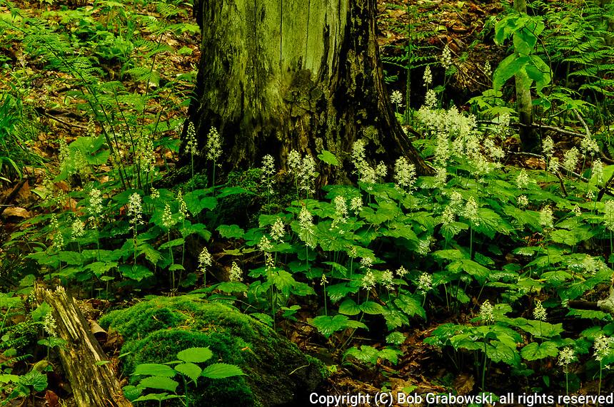 Foamflower, Tiarella Cordifolia, in bloom growing In the Adirondack Mountains of New York State