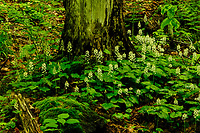 Foamflower, Tiarella Cordifolia, in bloom growing In the Adirondack Mountains of New York State