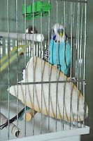 Blue Budgerigar (Melopsittacus undulatus) in cage with cuttlefish...Copyright..John Eveson, Dinkling Green Farm, Whitewell, Clitheroe, Lancashire. BB7 3BN.01995 61280. 07973 482705.j.r.eveson@btinternet.com.www.johneveson.com