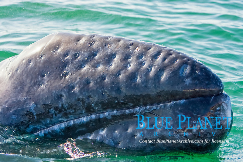 California Gray whale calf (Eschrichtius robustus) surfacing - note the sensory hairs in each pit on the rostrum - in San Ignacio Lagoon on the Pacific Ocean side of the Baja Peninsula, Baja California Sur, Mexico. Each winter thousands of California gray whales migrate from the Bering and Chukchi seas to breed and calf in the warm water lagoons of Baja California. San Ignacio lagoon is the smallest of the three major such lagoons. Current (2008) population estimates put the California Gray wh at between 20,000 and 24,000 animals.