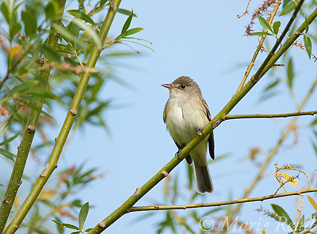 Willow Flycatcher (Empidonax traillii), perched in willow,  Montezuma National Wildlife Refuge, New York, USA