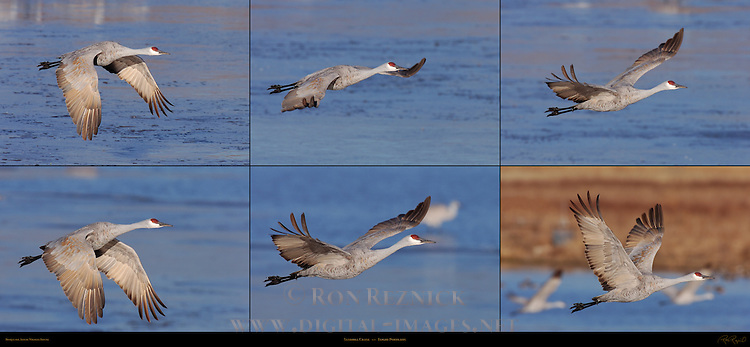 Sandhill Crane Flight Portraits Grus canadensis Bosque del Apache Wildlife Refuge New Mexico Composite Image