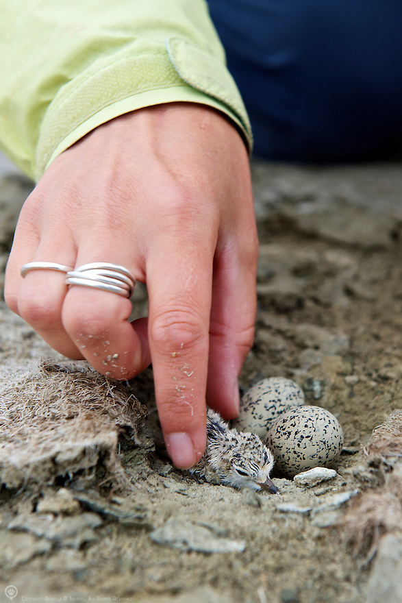A researcher gently lifts a newly hatched snowy plover from it's nest in order to band it before reuniting it with it's siblings to be.<br />