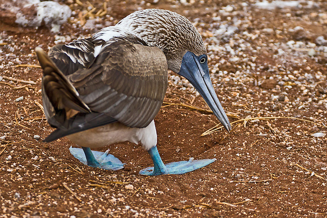 Close up of a female Blue-footed Booby preparing her nest in the red sands of Rabida Island by picking up a piece of straw with her beak in order to remove from her nesting site.