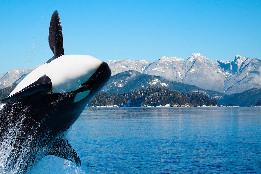 This image of a captive killer whale, Orcinus orca, leaping out of the water, was digitally added to this British Columbia, Canada background.