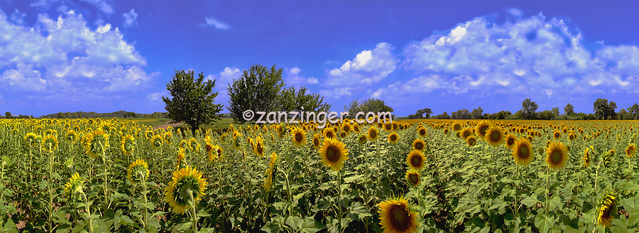 Sunflowers Helianthus, especially H. annuus CGI Backgrounds, ,Beautiful Background