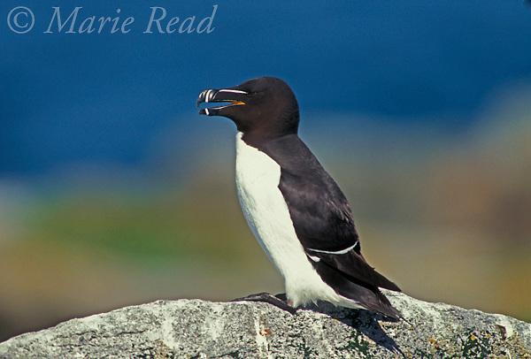 Razorbill (Alca torda) adult in breeding plumage, MachiasSeal Island, NB/ME, USA/Canada<br /> Slide # B62-413