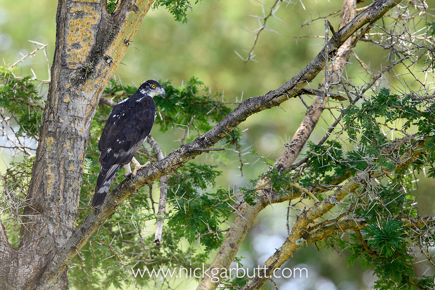 Adult African hawk-eagle (Hieraaetus spilogaster) perched in Acacia. Tarangire National Park, Tanzania.