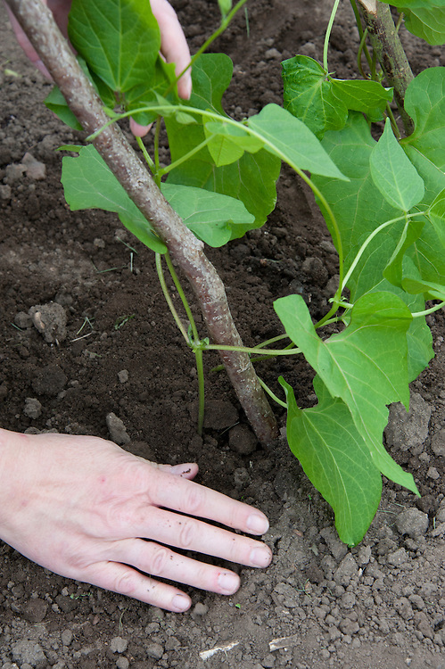 Planting out runner bean seedlings. Sequence 2, image 5 of 5.