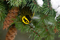 A Townsend's Warbler, Dendroica townsendi,  searches for food among Douglas Fir cones in King County, Washington.