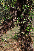 In an olive grove, just at the bottom of the hill where is located the historical center of Lugnano, in the direction of Guardea, an olive tree with a beautiful trunk. Digitally Improved Photo.