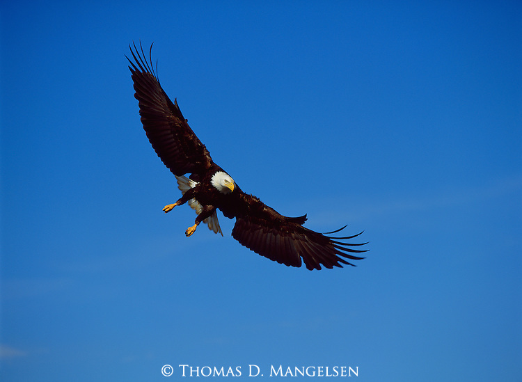 Portrait of a bald eagle descending to catch a salmon in Southeast Alaska.