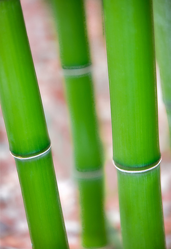 Bamboo close up. Hughes Water Gardens, Oregon