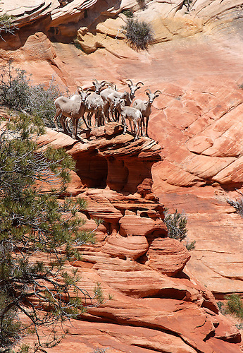 A HERD OF DESERT BIGHORN SHEEP CLING PRECARIOUSLY CLOSE TO THE EDGE OF A CLIFF AT ZION NATIONAL PARK, UTAH