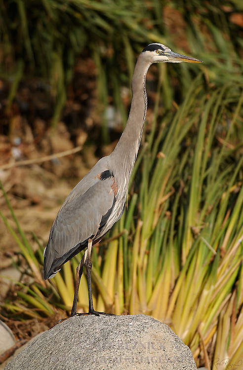 Great Blue Heron Close Portrait Southern California