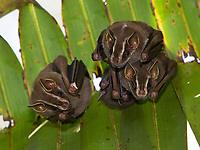 Tent-making bats are usually found on the shady underside of leaves and palm fronds during the day.