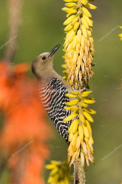 Gila Woodpecker (Melanerpes uropygialis) feeding on nectar from Aloe Vera flowers