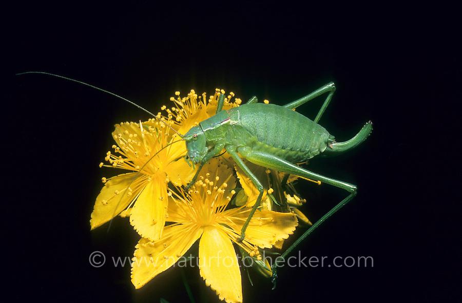 Gemeine Plumpschrecke, Weibchen, Isophya pyrenaea, Isophya pyrenea, Large Speckled Bush-cricket, female