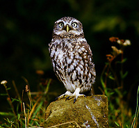 Steinkauz, Stein-Kauz, Kauz, Käuzchen, Athene noctua, little owl, La Chevêche d'Athéna, Chouette chevêche