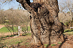 Israel, the Lower Galilee. The trunk of the Mount Tabor Oak (Qyercus Ithaburensis) tree in Tivon